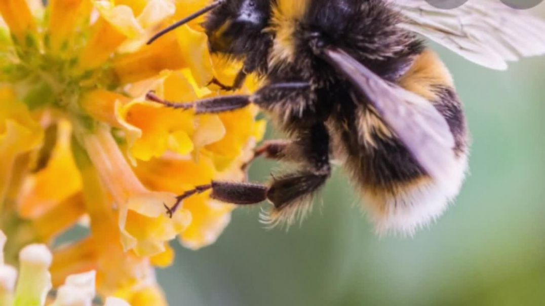 Scientists Genetically Engineered Bacteria to Protect Bees From Colony Collapse.mp4
