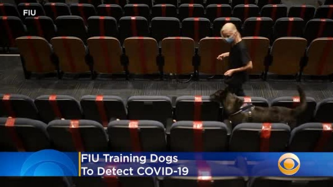 Training Dogs To Detect CV-19?? Have They Gone Completely Insane!!